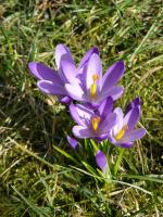 erste Frühlingsboten (6.3.2013)